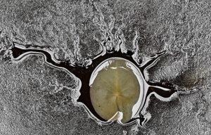 Hannu Ahosen Ulpukan juuristossa näkyy mustaharmaata rihmastoa, keskellä on vihreänharmaa ulkukanlehti.