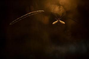 Petri Koiviston kuvassa suurisiipinen hyönteinen roikkuu heinänkorresta.