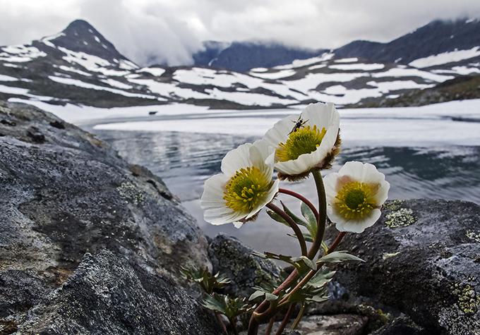 Kevään ensimmäiset valkokeltaiset jääleinikin kukat ovat noussee lumen alta tunturin kupeeseen.