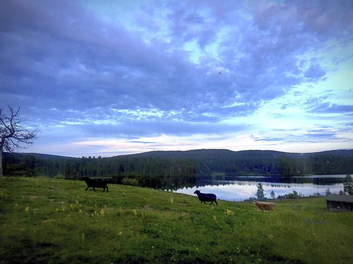 Lampaita sinisen taivaan alla illanhämyssä.