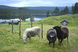 Lampaita laitumella, kaksi mustaa, yksi valkoinen.